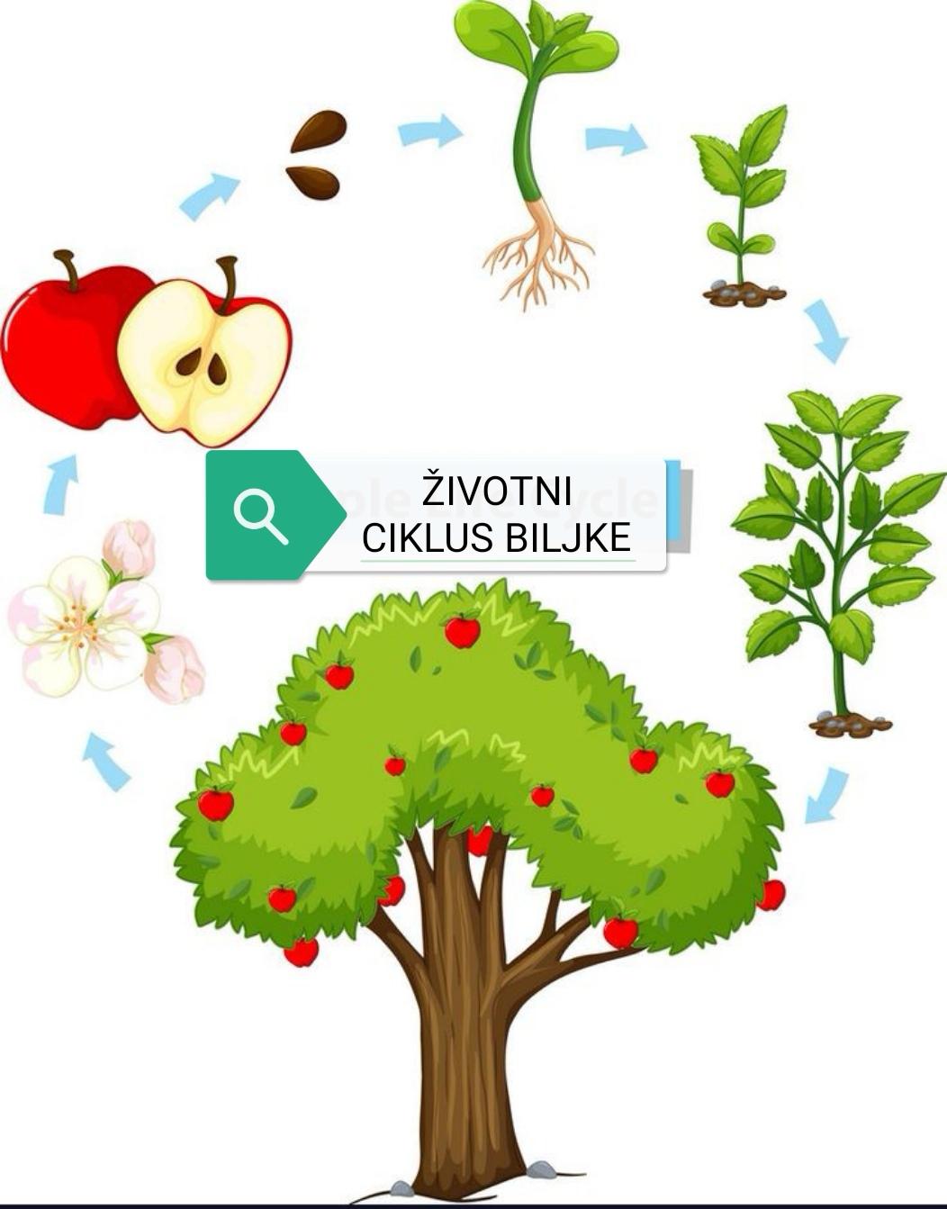sadimo biljke iz semena, crrtamo njihov životni ciklus
